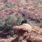 kondor w Sierra de las Quijadas